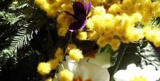 mimosa_violette
