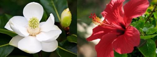 La grande Magnolia e il piccolo Ibiscus