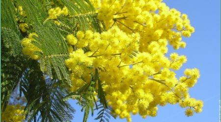 Ave mimosa Poesia in versi di Don Salazzar per celebrare l'8 marzo