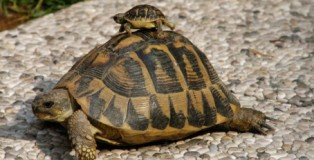 tartaruga-tartarughe 2009_stampa