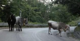 mucche-sulla-strada-470x341