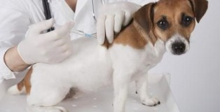 vaccino cane