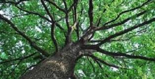 alberi calabresi