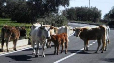 Vacche sacre Piana, task force regionale di sanità veterinaria Questa la proposta di Coldiretti Calabria