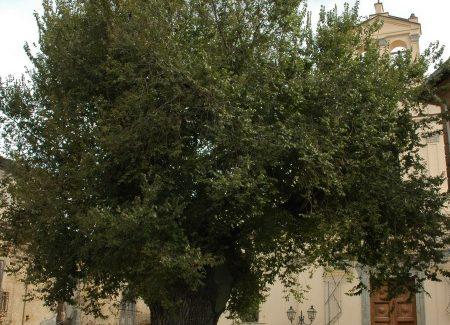 Alberi monumentali d'Italia: 25 in Aspromonte Circa il 30% degli Alberi Monumentali presenti in Calabria, hanno vita in Aspromonte