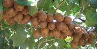 pianta di kiwi prezzo