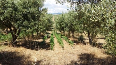 Piantagione canapa nascosta in uliveto, arrestato 24enne I Carabinieri hanno sequestrato 43 piantine