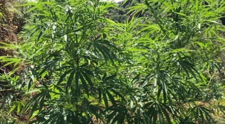 Carabinieri scoprono piantagione cannabis L'area era dotata anche di impianto di irrigazione