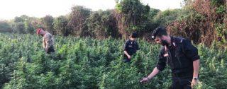 Controlli dei Carabinieri nella Piana di Gioia Tauro, rinvenute oltre 3200 piante di canapa indiana