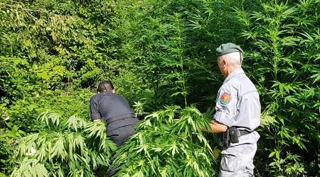 Rinvenuta piantagione canapa tra i boschi di Mongiana Circa 500 piante sono state scoperte dai Carabinieri in un terreno