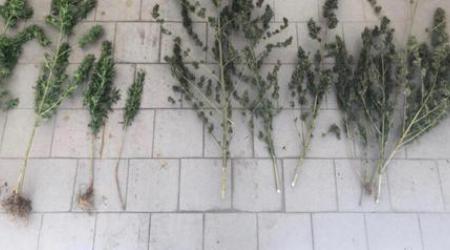 Trovato in possesso di 12 piante di marijuana: arrestato Bloccato dai Carabinieri dopo la perquisizione in un fondo agricolo