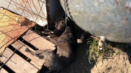 Cane legato a catena muore soffocato, denunciato 25enne Il giovane è accusato di maltrattamento di animali