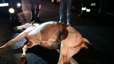 Cavallo invade strada statale 280: due feriti I Vigili del Fuoco sono intervenuti per la messa in sicurezza della vettura
