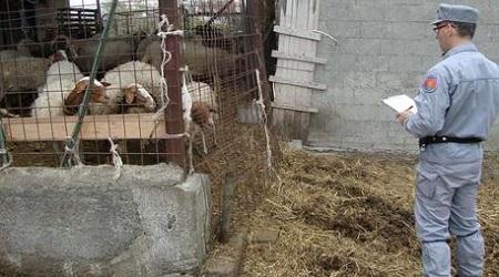 Maxi sequestro di bestiame da parte dei Carabinieri Forestali Bloccati ben settantadue animali