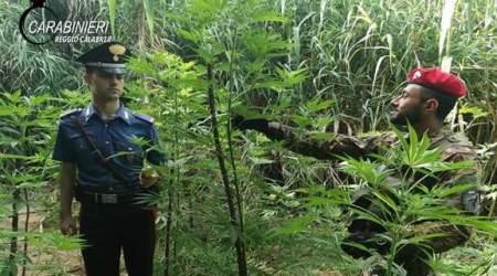 Sorpreso in piantagione canapa, arresto nel Reggino I Carabinieri hanno inoltre trovato nell'abitazione di un 56enne delle cartucce nascoste in una busta