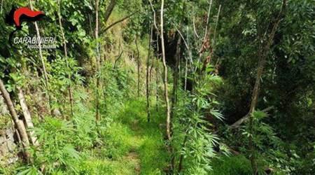 Sorpresi a coltivare piazzola canapa, in due ai domiciliari Le piante sono state distrutte sul posto dai Carabinieri