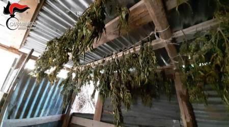 Casolare adibito essiccatoio, rinvenuta piantagione canapa La droga è stata sequestrata e distrutta dai Carabinieri