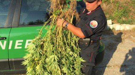 Piante cannabis in terreno coltivato ad uliveto: denunciato Un uomo di 54 anni dovrà rispondere di coltivazione di sostanze stupefacenti