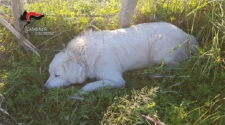 Pastore maremmano ferito da una trappola anti-cinghiale Un agricoltore è stato denunciato per maltrattamento di animali e bracconaggio