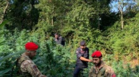 Scoperta vasta piantagione di marijuana in Calabria, due arresti L'accusa nei loro confronti è di produzione di sostanze stupefacenti