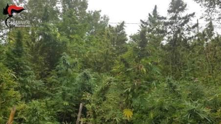 Sequestrate oltre duecento piante di canapa indiana Ancora un'altra piantagione scoperta a San Luca