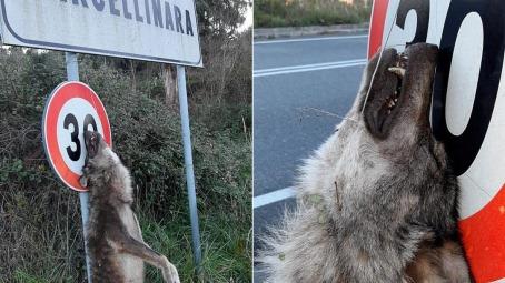 Orrore in Calabria, trovato un lupo impiccato Il crudele episodio è avvenuto nel catanzarese nei pressi di Marcellinara, su un cartello stradale